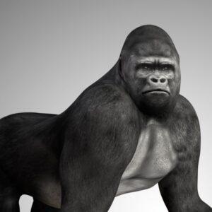 Gorilla 3d model