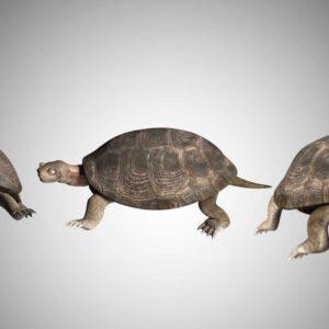 Turtle tortoise 3d model