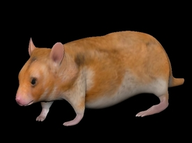 Hamster 3d model rigged low poly