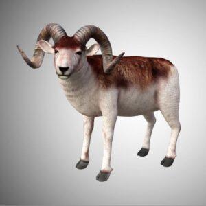 marco polo horned sheep