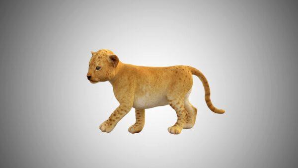 Baby lion tiger 3d model