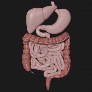 Digestive system 3d model