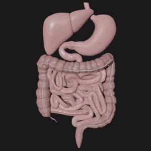 Human body anatomy 3d model