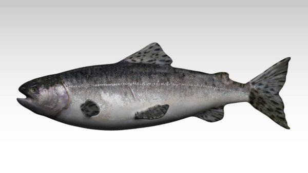 Salmon 3d model