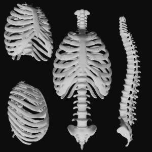Spine 3d model